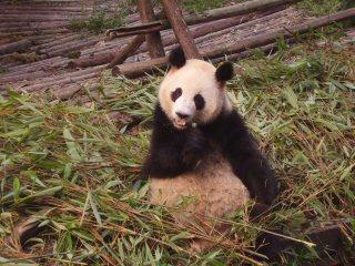 panda eating in China